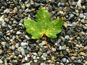maple-leaf-422582_1280